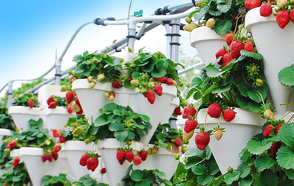 hydroponic-grown-strawberries